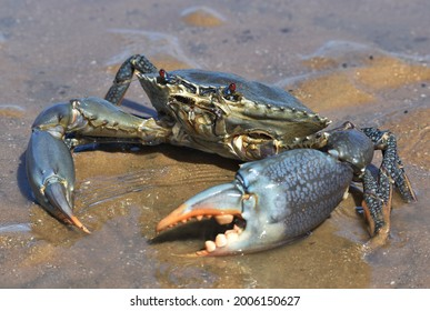 A large male mud crab with blue spots on its claws and legs, and red eyes. The crustacean is standing in shallow water in wet sand on the beach.
