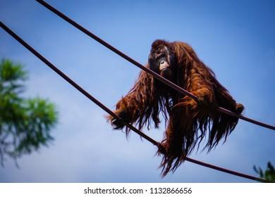 large male orangutan climbing rope