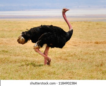 Large Male Ostrich