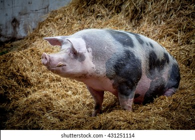 A large male pig sitting on a haystack looking interested in one direction