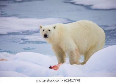 Large male polar bear finishes feasting on seal in Arctic