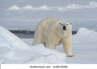 large male polar bear on arctic ocean ice floe and looking into camera