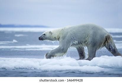 Large male polar bear running on ice floe in Canadian Arctic