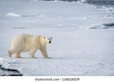large male polar bear walking on arctic ocean ice floe and facing toward camera