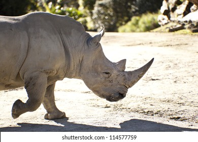 Large male rhinoceros about to graze