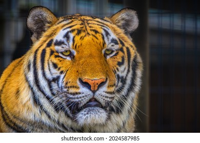 A LARGE MALE SIBERIAN TIGER WITH BRIGHT YELLOW EYES