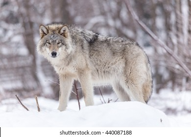 A large male timber wolf in a winter forest