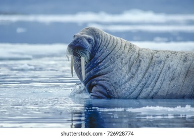 Large male walrus on ice floe in Canadian High Arctic