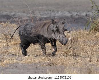 Large Male Warthog, Savuti, Botswana