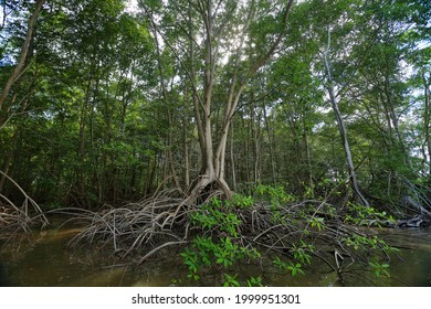 A large mangrove tree in the middle of a swamp in the bay of Jiquilisco, El Salvador.