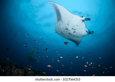 Large Manta Ray Gliding Elegantly Above Divers in Maldives