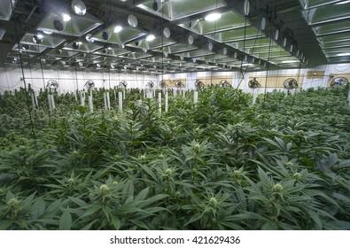 Grosse entreprise de culture de marijuana, commerce de cannabis