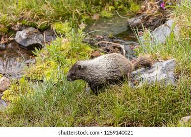 large marmot walks near water pool in meadow