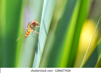 Large marsh hoverfly - Helophilus trivittatus resting on a blade of grass