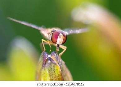 Large marsh hoverfly - Helophilus trivittatus resting on a plant stalk