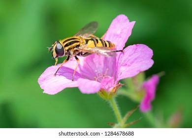 Large marsh hoverfly - Helophilus trivittatus resting on a blossom