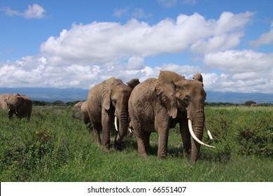 Large matriarch leads her family across the savanna plains