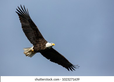 Large mature bald eagle soaring against a cloudy sky