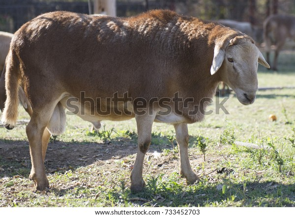 Meat Sheep Breeds