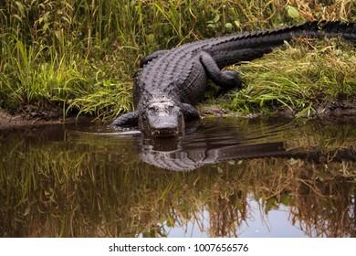 Large menacing American alligator Alligator mississippiensis in the wetland and marsh at the Myakka River State Park in Sarasota, Florida, USA