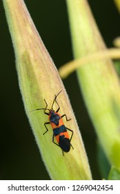 Large milkweed bug (Oncopeltus fasciatus) on seed pod of butterfly weed (Asclepias tuberosa). Conspicuous coloration warns predators that the insect contains toxic chemicals derived from the milkweed.