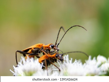 Large milkweed bugs feed on the seeds of milkweed plants, and occasionally on the nectar. As the milkweed seed pods mature, they'll often attract dozens of large milkweed bugs