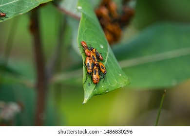 Large Milkweed Bugs Swarming on Milkweed Leaf