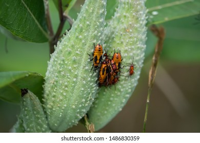 Large Milkweed Bugs Swarming on Milkweed Pods