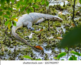 A large Monitor Lizard rests in a mangrove swamp at Sungei Buloh wetalnds, Singapore