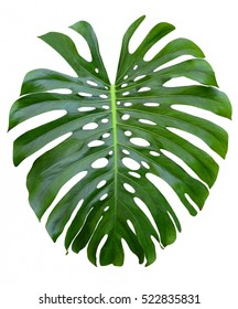 Large monstera tropical jungle leaf design pattern, shiny, Swiss cheese plant, isolated on white background