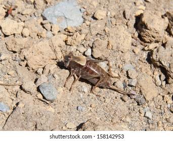 Large Mormon cricket