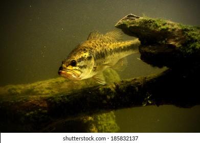 large mouth bass fish in lake swimming