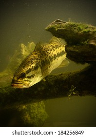 a large mouth bass fish underwater
