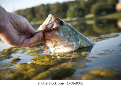 Large mouth or bigmouth bass being pulled out of the water.