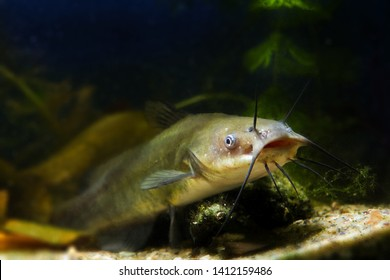 large mouth of a juvenile dangerous freshwater predator channel catfish, Ictalurus punctatus, lives in cold-water reservoir biotope fish aquarium