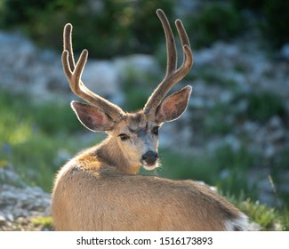 A large Mule Deer buck in velvet photographed in the Wasatch Mountains of Utah.