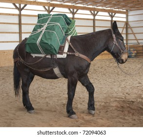 Large mule is packed to carry supplies.