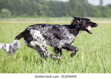 Large munsterlander dog running