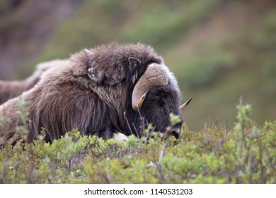 A large Muskox (Ovibos moschatus) grazes on the tundra of Nome, Alaska during the summer