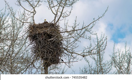 Large nest of a Bald headed eagle, massive nest made of twigs and branches