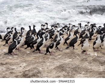 large nesting colony of Imperial Shag, Phalacrocorax atriceps, Carcass, Falklands / Malvinas