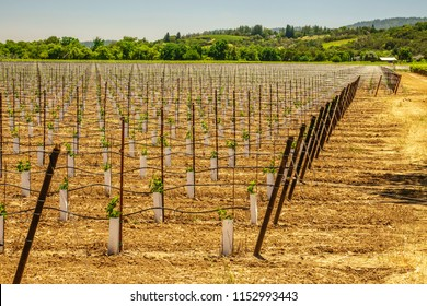 Large new vineyard at end of May in wine country of northern California, for themes of agriculture, viticulture, spring and beginnings