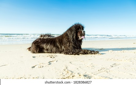 Large Newfoundland dog lies and rests on the beach after swimming in the sea. Happy dog on the sandy beach. Sunny weather.