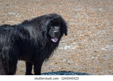 Large Newfoundland dog with wet fur standing on a beach