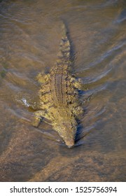 Large Nile crocodile with full body and tail viewed from above in shallow water