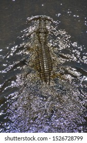 Large Nile crocodile moving silently through glittering shallow water in Kruger National Park on the hunt