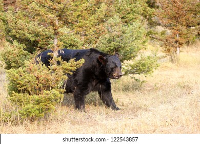 Large North American Black Bear in Wyoming