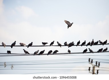 A large number of birds live on the high voltage power lines.