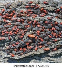 A large number of boxelder bugs (Boisea trivittata) infest a tree.