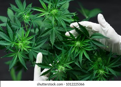 A large number of cannabis flowers the hands of Medetsinsky employee concepts of profuse cultivation